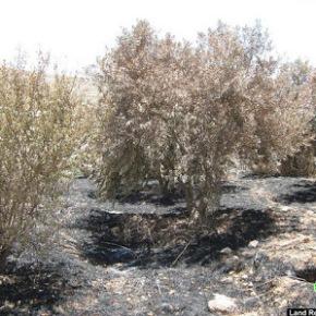 Ισραηλινοί έποικοι καταστρέφουν ελαιόδεντρα με χημικέςουσίες