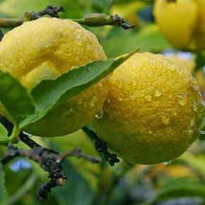 ΚΑΤΑΓΓΕΛΙΑ ΙΝΚΑ: Τα ελληνικά λεμόνια σαπίζουν στα δέντρα και εισάγουμετούρκικα!