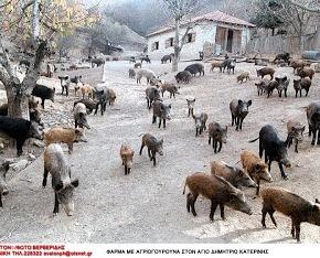 Θεσπρωτία: «Τα αγριογούρουνα έγιναν περισσότερα από τις κότες» – Προβληματισμός σταΦιλιατά!