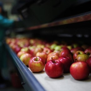 ΗΠΑ: Γενετικά τροποποιημένα μήλα που δεν αποκτούν καφέ χρώμα ότανκόβονται