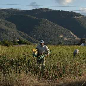 Δουλειές στα χωράφια σε χιλιάδες πρόσφυγες καιμετανάστες